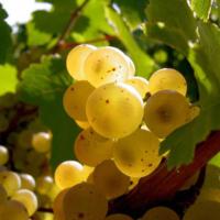 les-vignobles-de-savoie-1